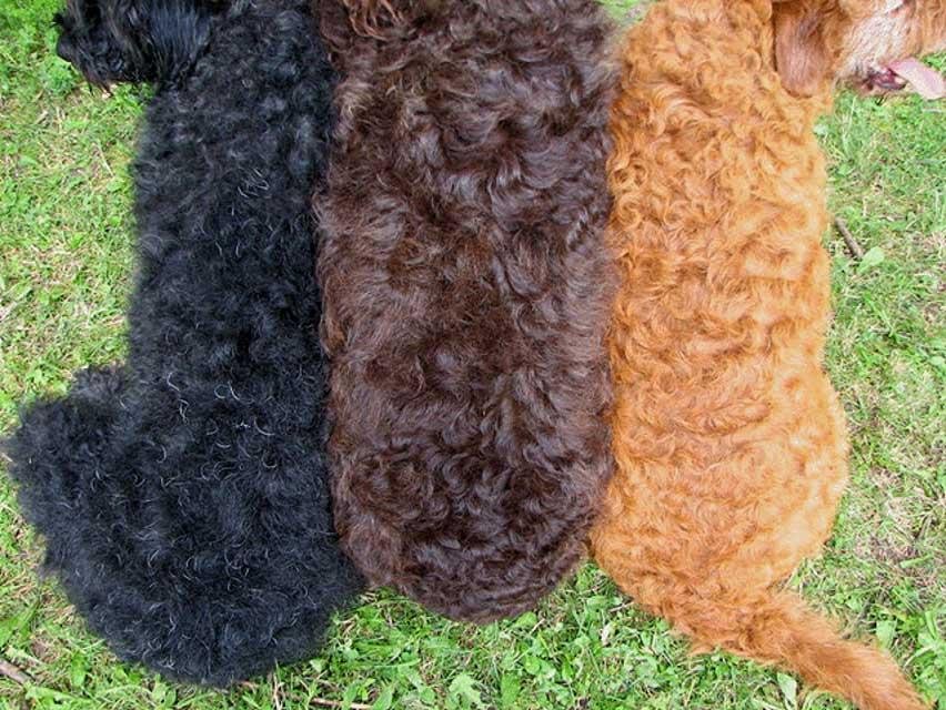 Lauderdoodles labradoodle photos our puppies
